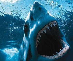 How many teeth do great white sharks have?